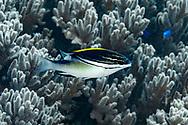 Two line monocle bream-Happeur à deux lignes (Scolopsis bilineata), Nusa Penida island, Bali, Indonesia.