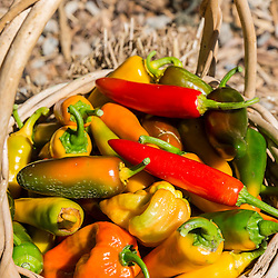 A basket of newly picked hot peppers, at the Garrison-Trotter Farm in the Dorchester neighborhood of Boston, Massachusetts.