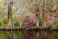 landscape of cypress trees, Spanish moss and azaleas at Magnolia Plantation in Charleston, South Carolina