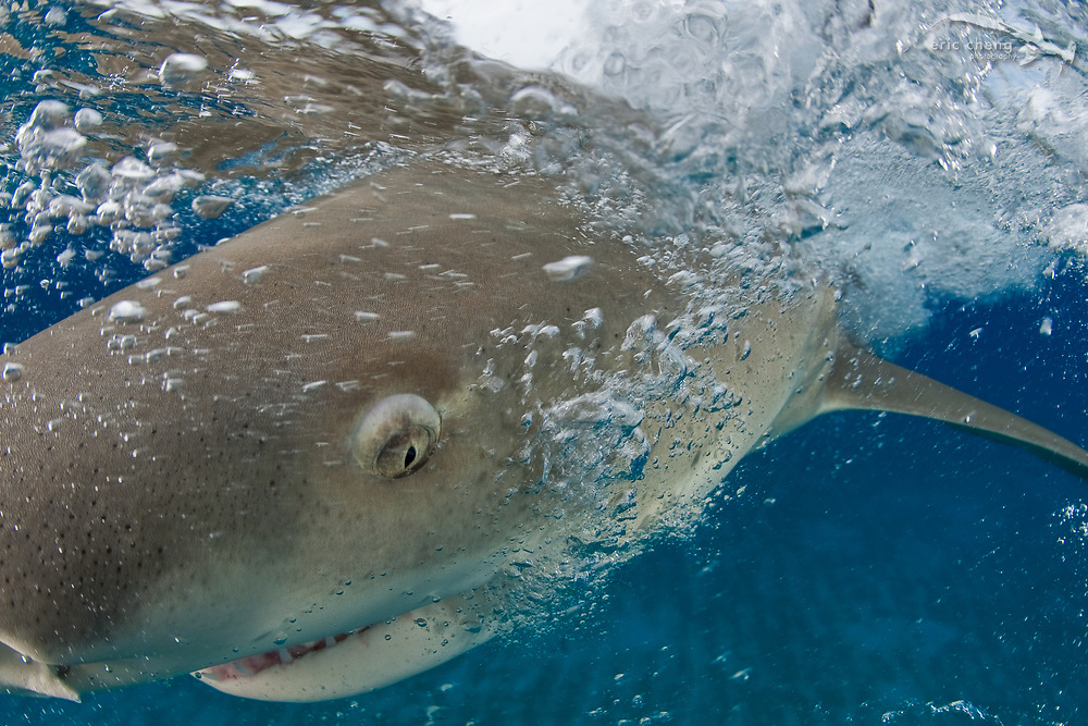 A lemon shark (Negaprion brevirostris) at the surface in the Bahamas