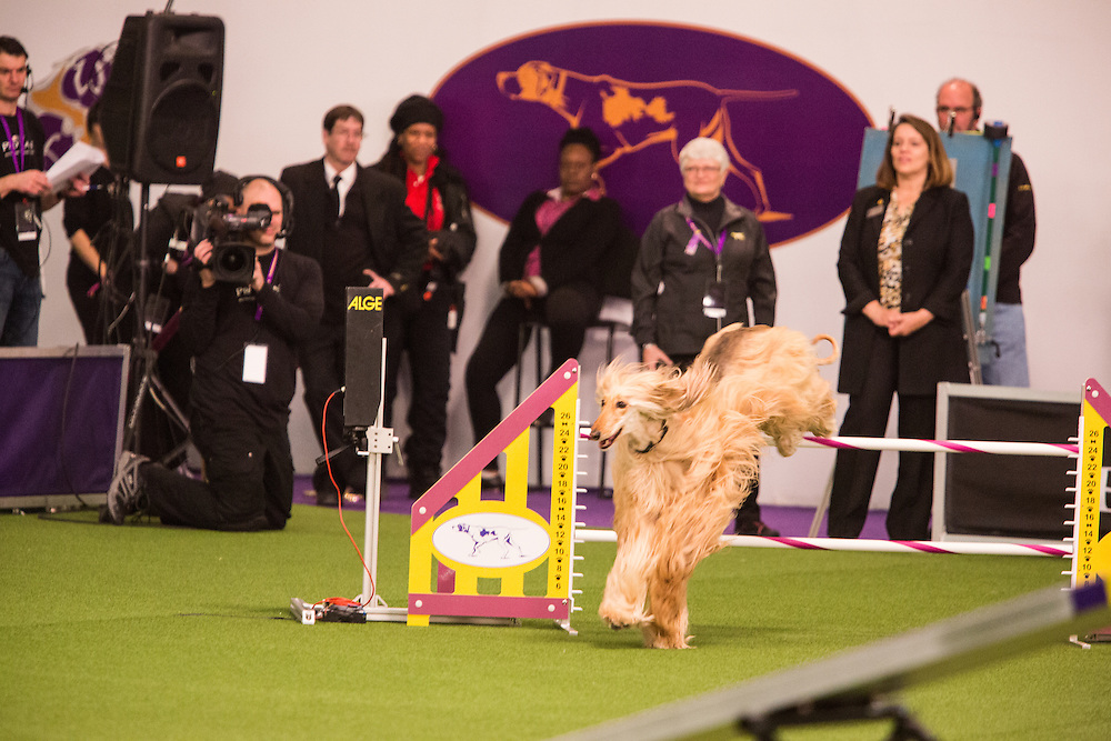 New York, NY - 8 February 2014. Reine, an Afghan hound, at the start of the agility trials. The timer starts when the dogs enter the first jump.