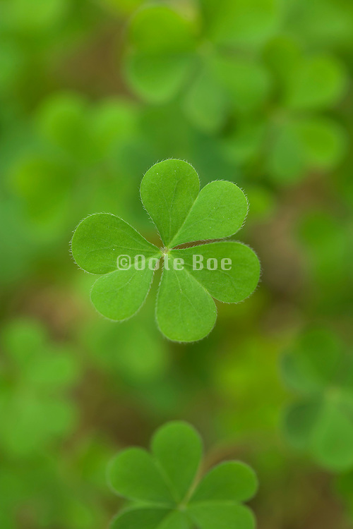 extreme close up of clover