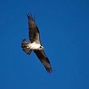 Osprey,  Pandion haliaetus, in flight. Richard DeKorte Park, New Jersey Meadowlands, Lyndhurst, New Jersey