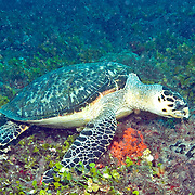 Hawksbill Sea Turtle are most commonly found on coral reefs where 70-95% of their food is sponges, although they also feed on crustations, algae and fish; they are circumtropical; picture taken Blue Heron Bridge, Palm Beach, FL.