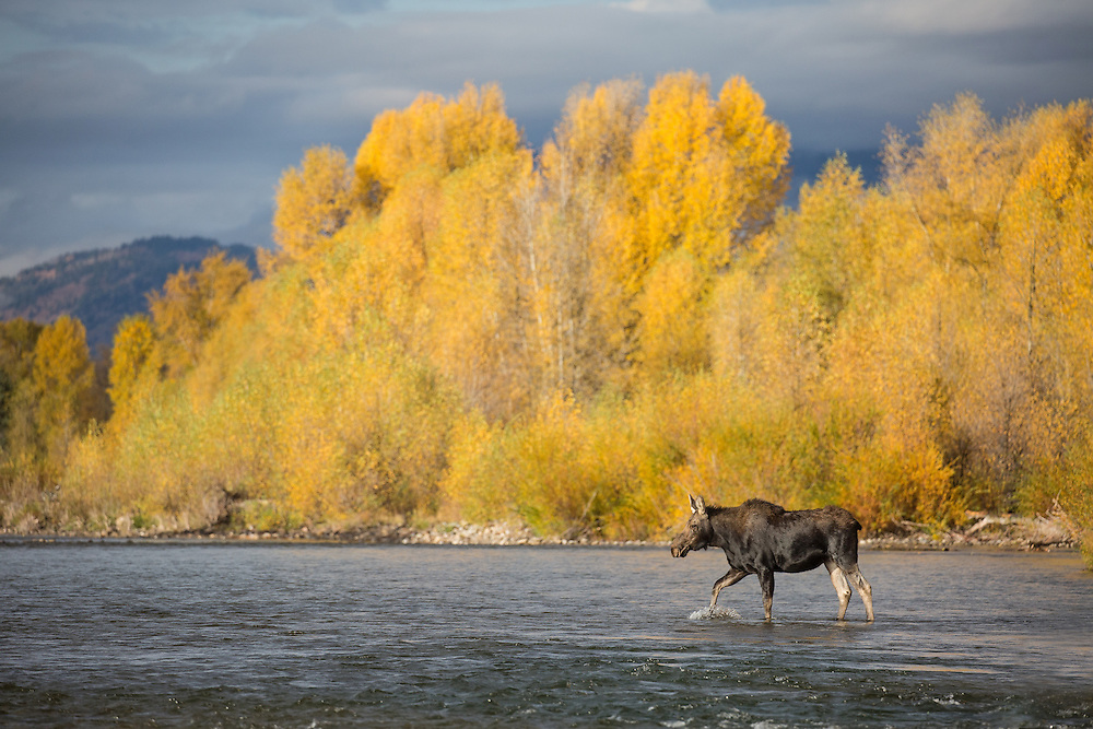 With cottonwoods ablaze against a stormy sky, a moose calf crosses the Gros Ventre River in pursuit of his mother who is grazing along the opposite shore.