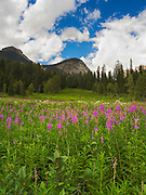 Flowers in a field, near Emerald Lake,  Yoho National Park, near Golden, British Columbia, Canada.