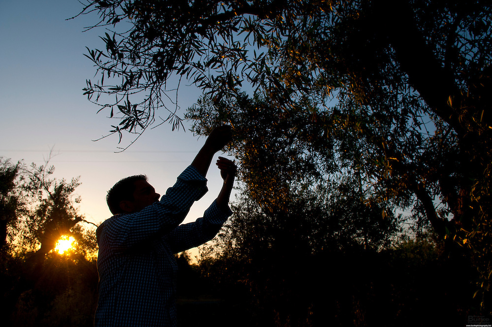 Dewey Lucero at his Olive Oil plant in the town of of Corning, CA.<br /> Lucero Olive Oil is the result of three generations of farming and producing olives in Northern California. The rural community Corning, &ldquo;The Olive Capital,&rdquo; has some of the oldest olive trees in California, and many of these century-old trees continue to flourish in the Lucero family groves. Dewey&rsquo;s maternal grandfather, has been one of the foremost olive growers in Northern California (since 1946 - 62 years), owning his own nursery for over 27 years. He grew a majority of the olive trees now in production in Northern California. Over 40 years ago, Dewey&rsquo;s paternal grandfather started producing small quantities of extra virgin olive oil for his family and friends. His olive oil was so popular it would sell out in a matter of days. In 2005 Dewey took a leap of faith and started to develop a family label, pressed large quantities of olive oil and began to market and sell Lucero Olive Oil across California. Since then the Lucero&rsquo;s have been growing and producing more and more top quality extra virgin olive oil each year...the rest is history in the making.