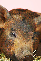 Brown pig close-up of head