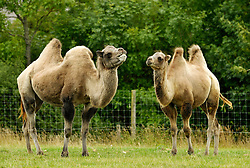 © Licensed to London News Pictures. 02/08/2013. Wraxall, North Somerset, UK. Charles (right) a Bactrian camel at Noah's Ark Zoo Farm has just been joined by Camilla the camel (left), who has come from Knowsley Safari Park.  Toy-boy Charles is only 2, while female Camilla is 11 years old.  Bactrian camels, found in China and Mongolia, are classified as 'Critically Endangered' on the IUCN Red List.  Charles had been known to irritate some of his other camel friends in the past when he lived within a group and so Keepers at Noah's Ark were hoping he wouldn't get the hump with a new companion or make a nuisance of himself.  In fact Charles appeared to be on his best behaviour when proud-looking Camilla walked calmly into his field. The pair were soon making polite introductions much like that expected of their royal counterparts.  The pair will now be given time to get to know each other in their large field and shared roofed paddock.  02 August 2013.<br /> Photo credit : Simon Chapman/LNP