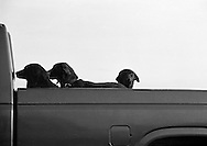 Three dogs enjoy the ride in the back of a pickup truck outside Davis, California.