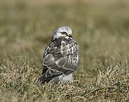 Rough-legged Buzzard - Buteo lagopus