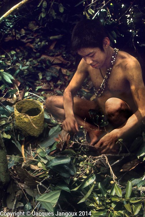 Venezuela, Guiana HIghlands, Hoti (Hodi) Indians. Youung man collecting fruit from felled rainforest tree: Dacryodes sp. (family Burseraceae).