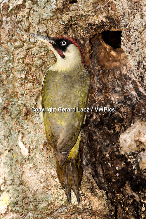 GREEN WOODPECKER picus viridis, ADULT STANDING AT NEST ENTRANCE, NORMANDY