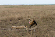 Mating lions in Nairobi NP, Kenya.