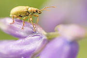 Beetle on bluebell. Surrey, UK.