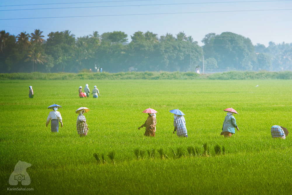 Rice field workers wear umbrella hats to shield themselves from the intense heat.