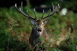 © Licensed to London News Pictures. 09/10/2016. London, UK. A deer stag seen calling out at sunrise on a bright Autumnal morning in Richmond Park in London. Photo credit: Ben Cawthra/LNP