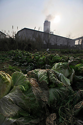 Diseased vegetables due to pollution from the nearby Jinhuarun Chemical Industry plant are seen in a farm in Hannan Village in Zekou Town, Qianjiang City of Hubei Province, China 14 January 2013. While the heavy smog in Beijing and much of northern China in recent days have caused alarm among residents and renewed scrutiny on the pollution woes of the country, villagers in a small town of Hubei Province have been grappling with severe air, water and noise pollution on a daily basis over the past two years. China's Xinhua news reported 04 January 2013 that more than 60 cancer deaths in various villages of Zekou Town has been caused by the heavy pollution from the chemical industry park nearby. About 20 or more chemical plants built around the villages of Dongtan, Xiangnan, Zhoutan, Sunguai, Qingnian and others over the past two years has created huge increases in noise, air and water pollution. Many villagers complained of intensifying respiratory, heart, skin and circulatory illnesses caused by the pollution and a large spike in cancer diagnoses and deaths since the factories were built. .