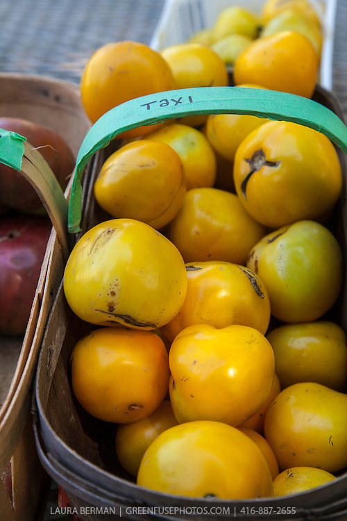 A basket of 'Taxi' heirloom tomatoes