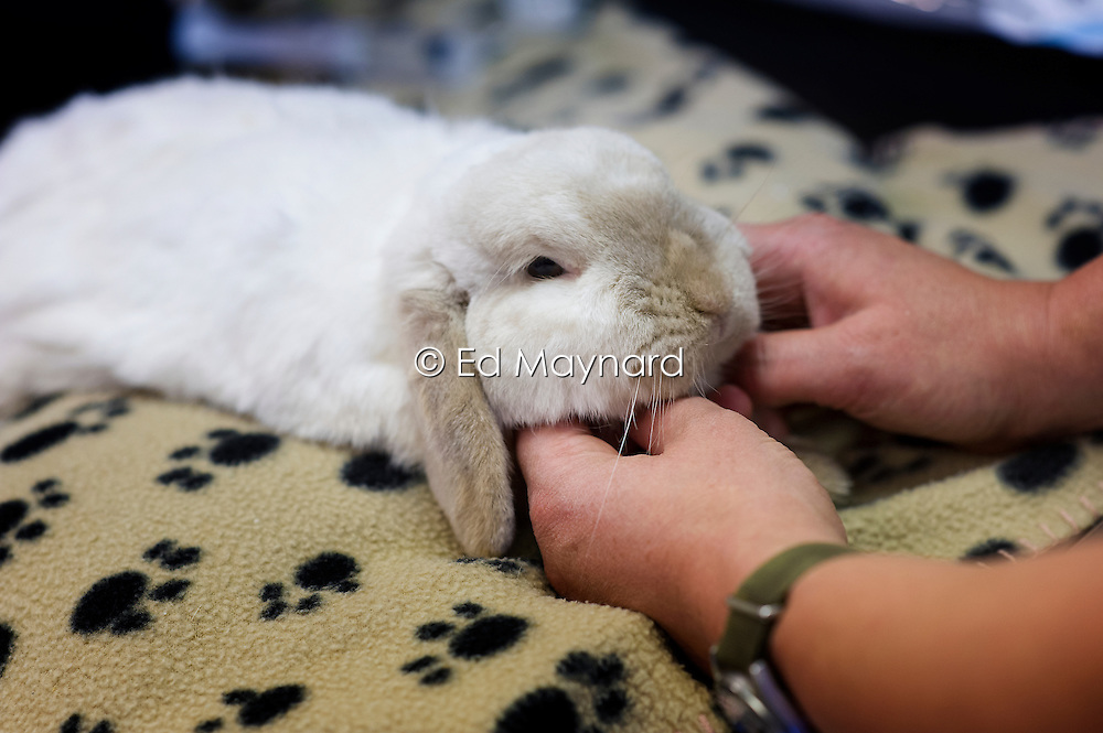 Sedated rabbit prior to undergoing dental work at Rushcliffe Veterinary Surgery, Nottingham, UK.