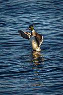 A male merganser flaps its wings in Provincetown Harbor