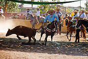 31 AUGUST 2007 -- PHOENIX, AZ: Riders participate in the colas, the charro rides along the left side of the bull, wraps its tail around his right leg, and tries to cause the bull to fall and roll as he ridesat the Congreso y Campeonato Nacional Charro in Phoenix, AZ, Friday, August 31. The event is the US championship for the Mexican Federacion Mexicana de Charreria. The winners of the US championship go on to compete in the Mexican Charreada championships in Morelia, Michoacan, Mexico in October. Charreadas are Mexican style rodeos that are popular in Mexican communities throughout the US. As the Mexican immigrant community has expanded throughout the US, the sport has expanded with it. Charreadas are now held as far north as Minnesota and along the US - Mexico border.   Photo by Jack Kurtz