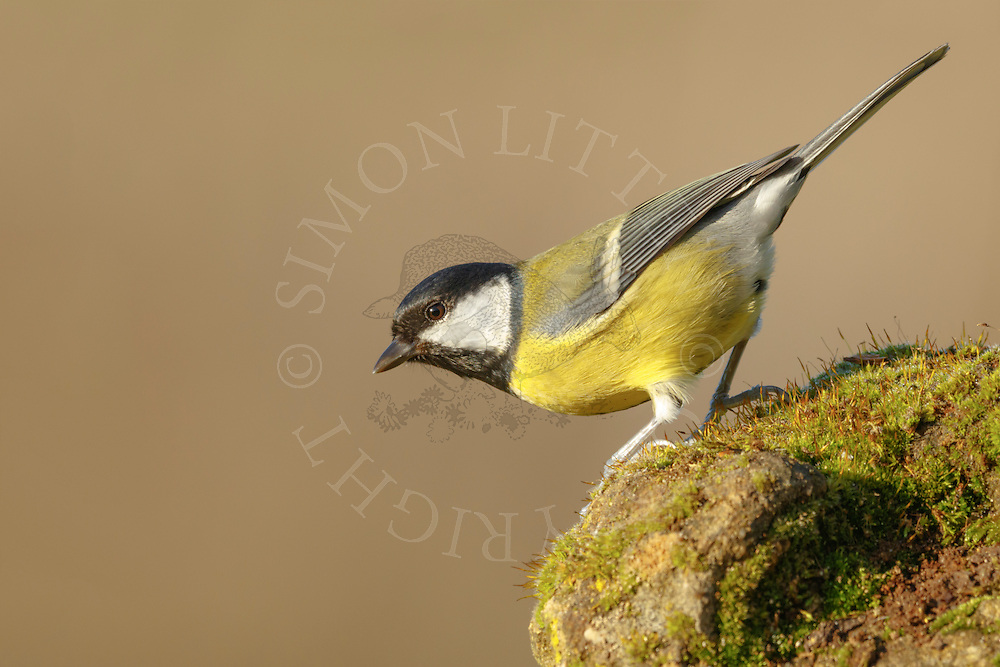 Great Tit (Parus major) adult, perched on weathered stone, South Norfolk, UK. November.
