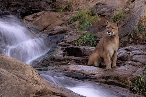 Mountain Lion or Cougar, (Felis concolor) At waterfall in Canyonlands of Utah.Red rock country.  Captive Animal.