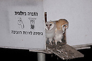 Two juvenile Barn owls (Tyto alba) await the return of a parent. The young owlS were raised in a coop provided on a farm in Israel. The barn owl is used by Israeli farmers as a natural pest control. Barn owls are one of the most economically valuable wildlife animals to farmers. Farmers often find these owls more effective than poison in keeping down rodent pests, and they can encourage barn owl habitation by providing nest sites.