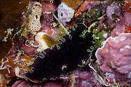 Pseudobiceros sp. (Flatworm)