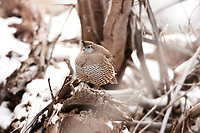 A female California Quail rests on a dead wood pile out of the snow along a small mountain stream.