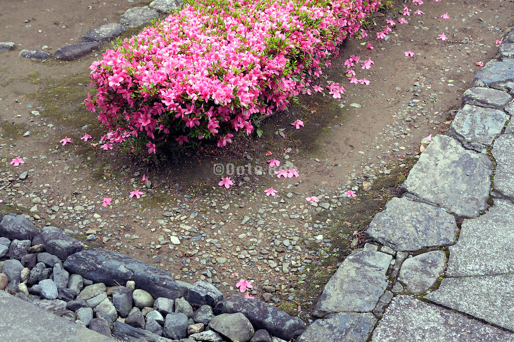 Japanese garden with pink flowering hedge