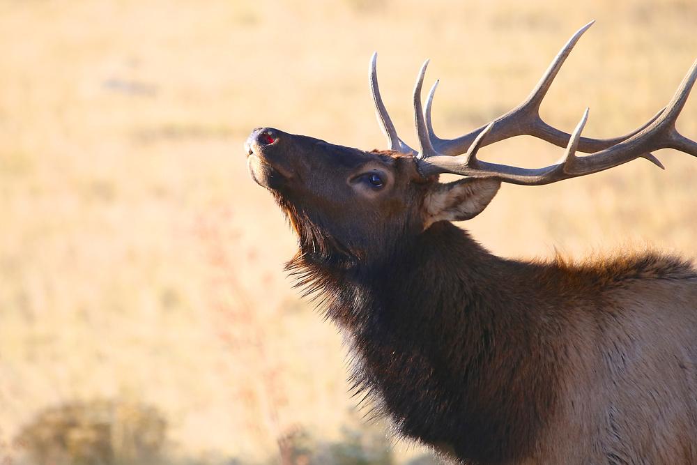 Bull elk in Rocky Mountain National Park, Colorado