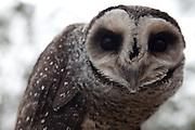 "Unlike the other birds of prey that hunt during the day, the owl is active primarily at night.  The Sooty Owl has the largest eyes and roundest wings of all the masked-owls, making it well adapted for seeing in the dimly-lit forests at night.  It ""bolts"" its food, ripping off and swallowing the head first!"