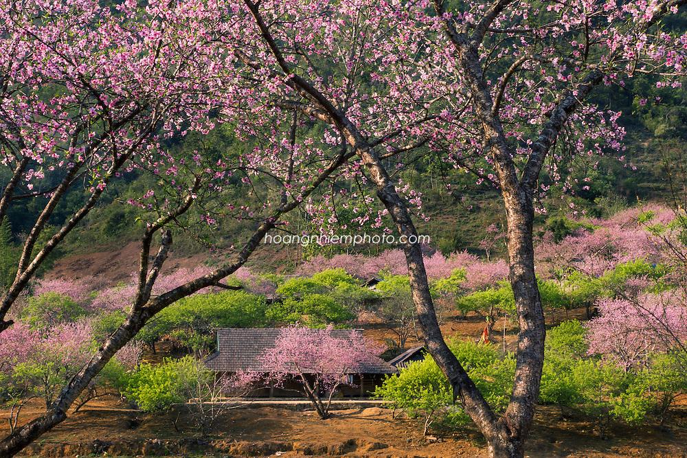 Vietnam Images-landscape-Moc Chau highland-Flower phong cảnh việt nam