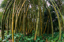 Bamboo Forest, Allerton Garden, National Tropical Botanical Garden, Kauai, Hawaii