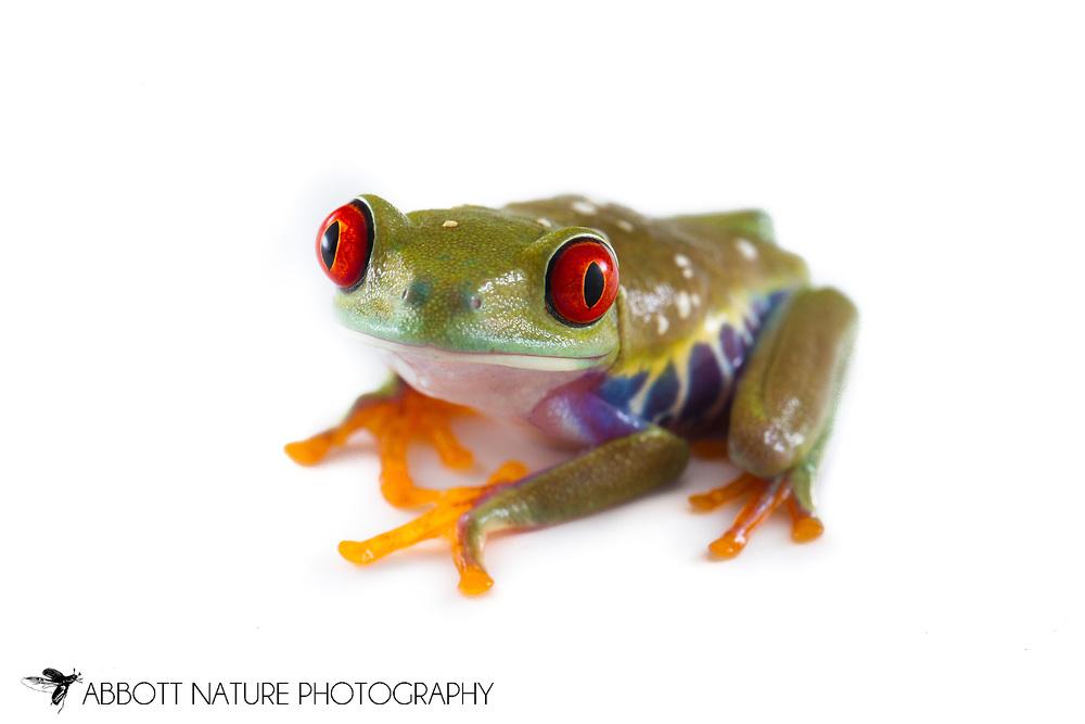 Red-Eyed Tree Frog ( Agalychnis callidryas)<br /> Captive Reared <br /> TEXAS: Travis Co.<br /> Austin<br /> 20-Jan-2014<br /> J.C. Abbott &amp; K.K. Abbott