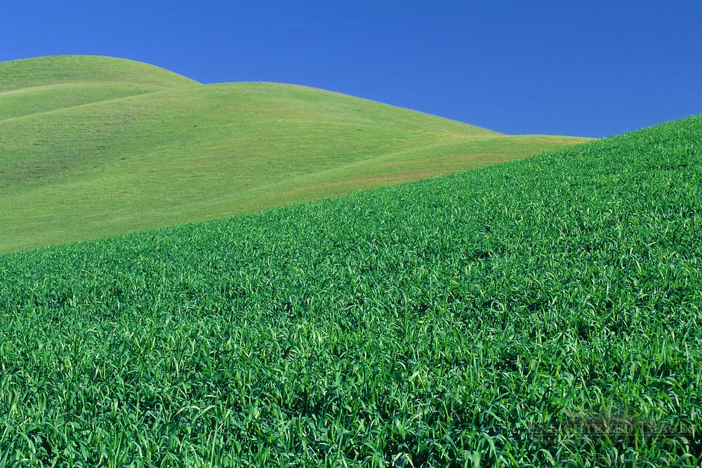Green grass covers rolling hills in spring, in the Tassajara Region, Contra Costa County, CALIFORNIA