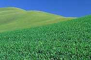 Green grass covers rolling hills in spring, in the Tassajara Region, Contra Costa County, CALIFORNIA
