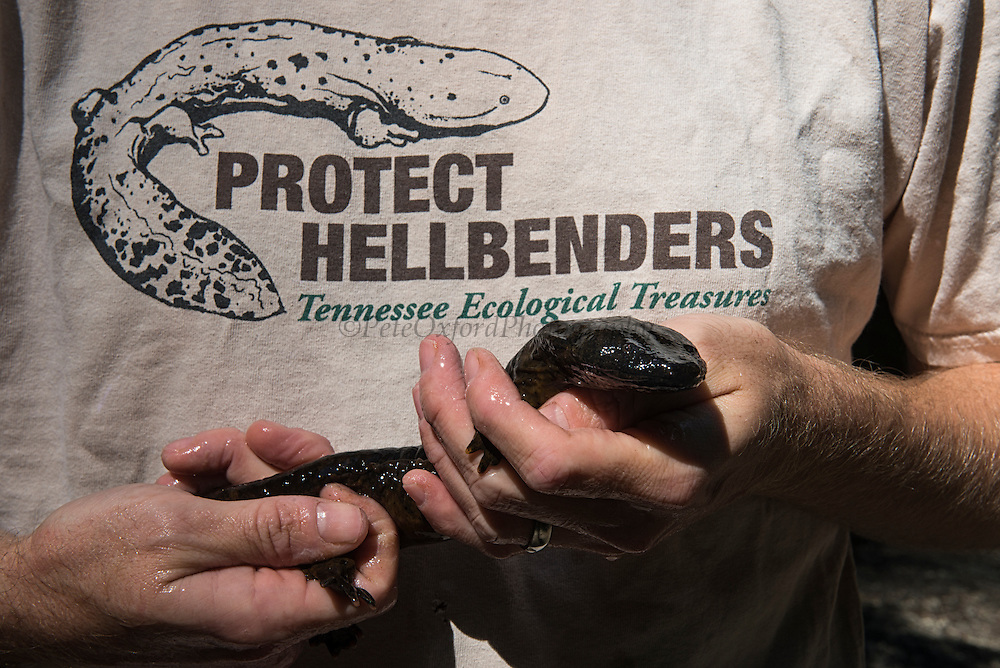 Eastern Hellbender (Cryptobranchus alleganiensis alleganiensis)<br /> CAPTIVE<br /> Coopers Creek,  Chattahoochee National Forest<br /> Georgia<br /> USA<br /> HABITAT &amp; RANGE: Clear, fast-flowing streams and rivers of Susquehanna River drainage in southern New York and Pennsylvania, and large portions Missouri, Ohio, and Mississippi River drainages from western Pennsylvania, southern Ohio, extreme southern Indiana, most of West Virginia, Kentucky, and Tennessee, northern Alabama and Georgia, western North Carolina and Virginia.