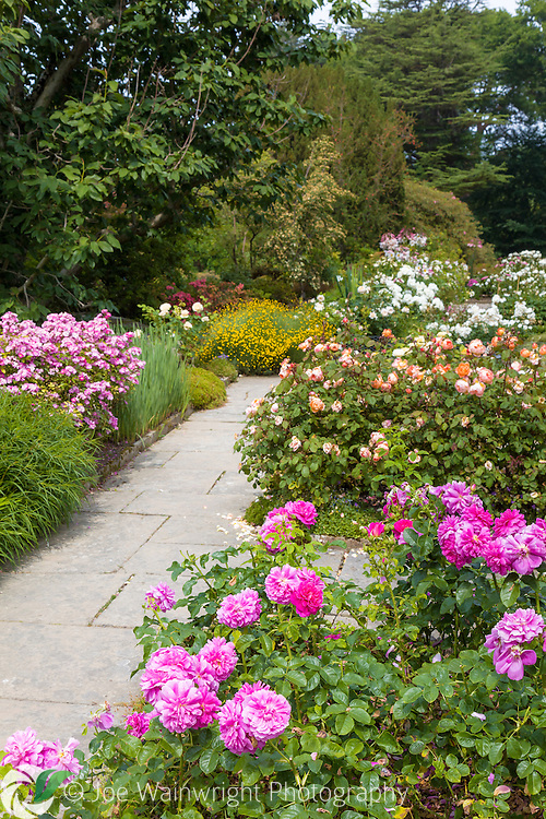 Fragrant roses flowering in abundance on the Rose terrace of Bodnant Gardens, Conwy, North Wales - photographed in July.