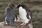 Rockhopper penguin chick with one parent.  Rockhopper penguins chick hatch covered in fuzzy black and white down. Rockhopper penguins chick loose there fuzzy down and develop waterproof feathers.