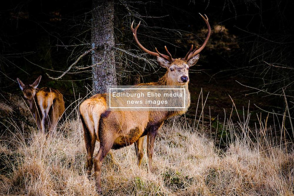 Red deer in Glen Etive, Scotland in winter.<br /> <br /> (c) Andrew Wilson   Edinburgh Elite media