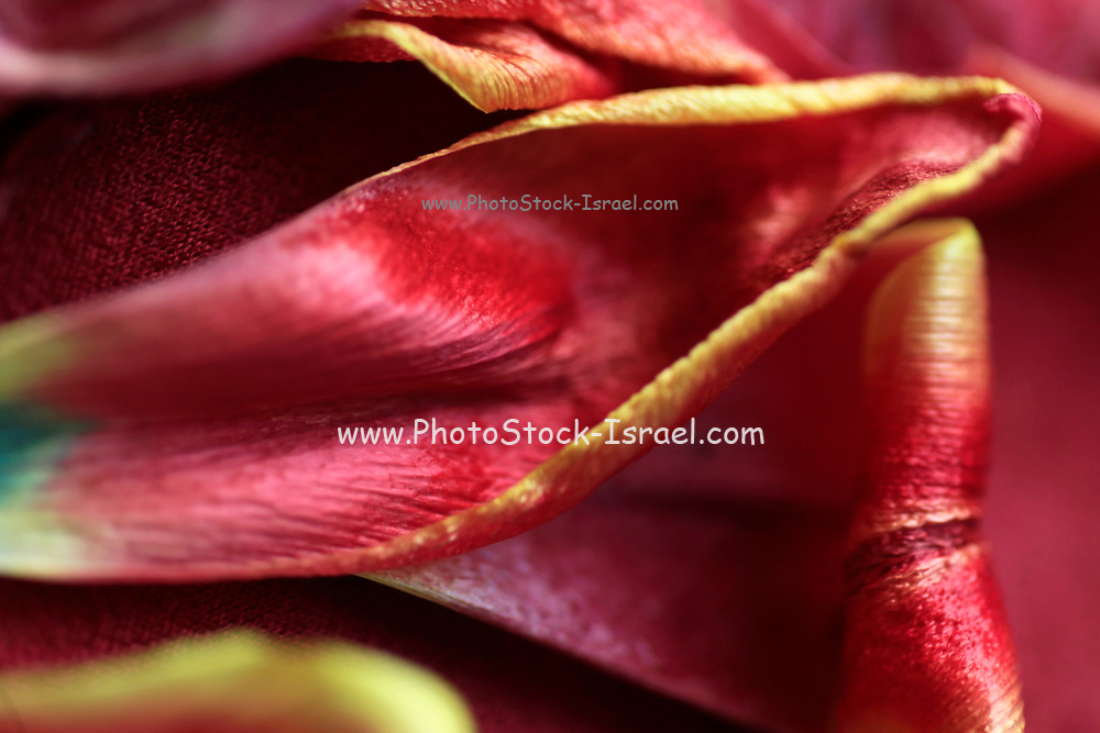 close up of a Wilted red Tulip petals