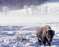 A bison stands in Lamar Vallery on a sub-zero temperature morning in Yellowstone National Park in Wyoming.