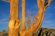 Sunset light on Bristlecone Pine, Ancient Bristlecone Pine Forest, White Mountains, CALIFORNIA