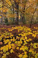 Felbrigg Great Wood in Norfolk UK