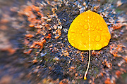Fall aspen leaf detail, Inyo National Forest, Sierra Nevada Mountains, California