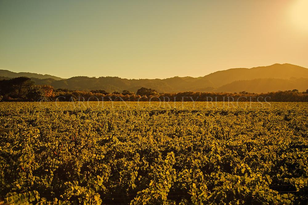 sunset over swanson vineyards in oakville, california.