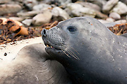 Female southern elephant seal
